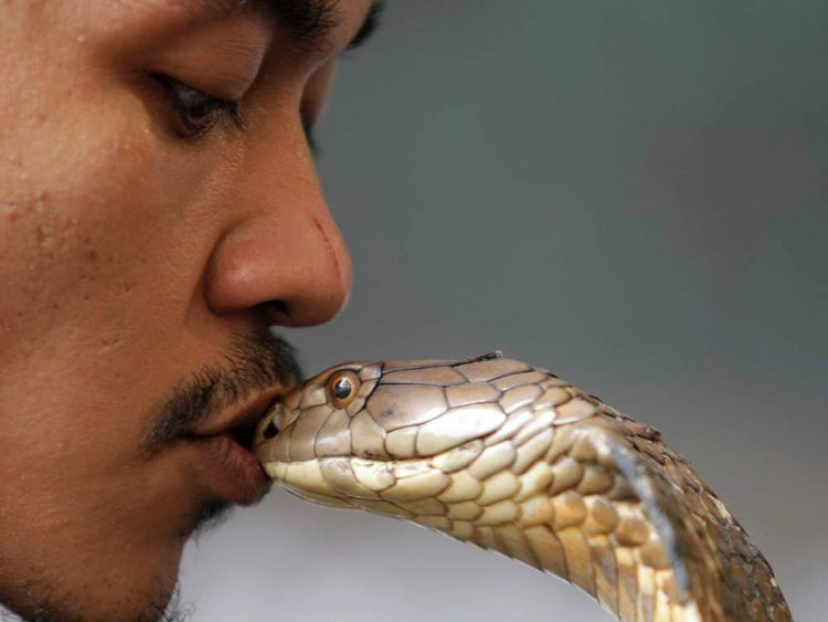 Snake charmer Faizal Ahmad kisses a King Cobra during a snake show at the National Museum in Kuala Lumpur
