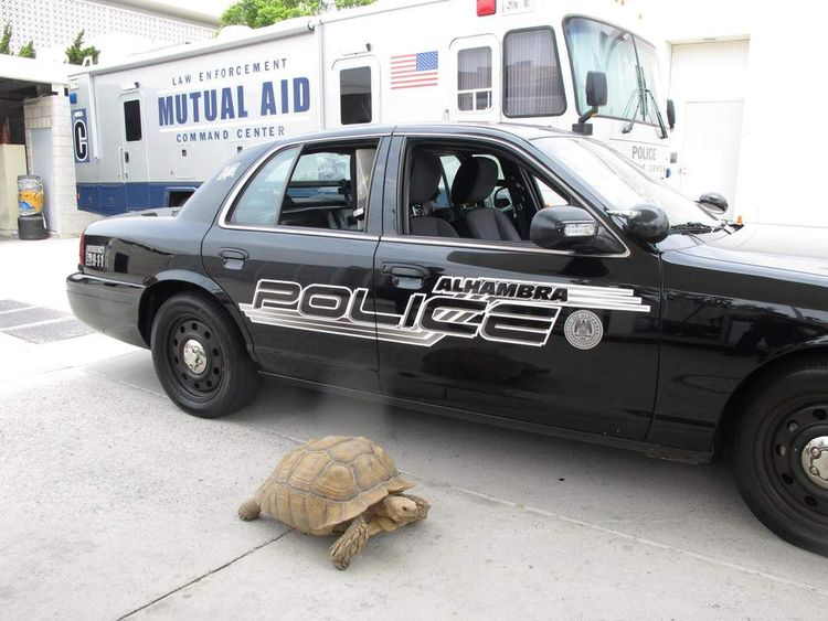 Tortoise and police car