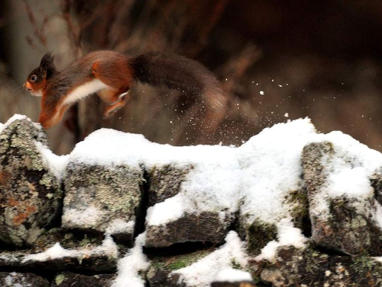 A squirrel jumping across a snow-covered wall