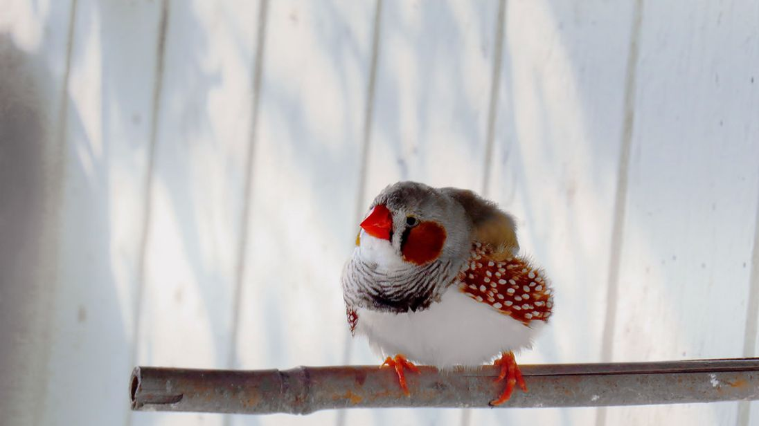 Zebra finches sing a special song to their unborn chicks