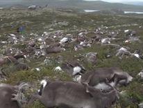 Hundreds of reindeer were killed by the lightning strike