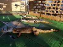 Crocodiles dumped at Taminmin high school