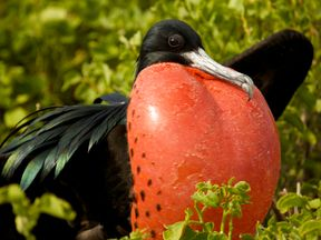A great frigatebird with a puffed-out red chest