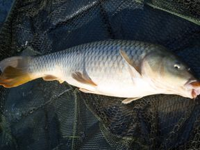 Carp are not native to Australia and are considered a pest Pic: Flickr/myfrozenlife