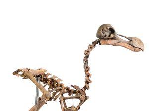 Rare Dodo Skeleton To Go Under The Hammer