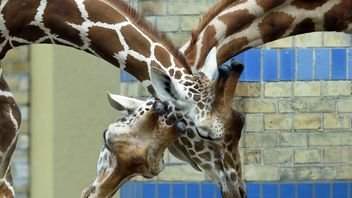 Two giraffes cross necks in their enclosure at the zoo in Berlin