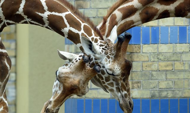 Giraffes heading for 'silent extinction' as numbers plummet