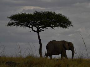 An elephant walks past a tree  in the Masai Mara game reserve in Kenya