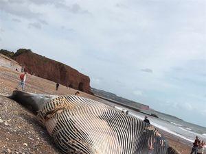 Public told to stay away from 50ft dead sperm whale on Devon beach