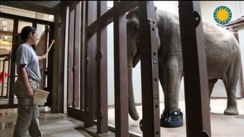 Shaniti wears specially designed boots which allow vets to treat her with medication.