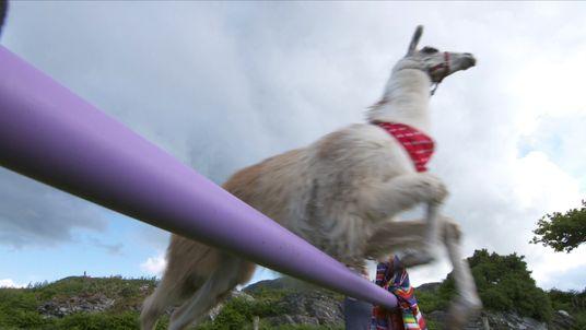 The UK has the world's highest jumping llama