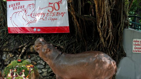 """A female hippopotamus named """"Mali"""", which means Jasmine, eats fruits arranged to look like a cake during her 50th birthday celebration at Dusit Zoo in Bangkok, Thailand"""