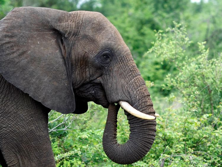 bull elephant grazes in South Africa's Kruger National Park, December 10, 2009. REUTERS/Mike Hutchings/File Photo