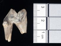 The tooth of an Alsatian dog discovered a mile from Stonehenge. Pic: University of Buckingham