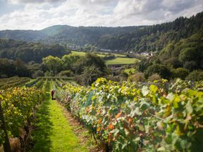 Harvesting at the Parva Farm Vineyard in Tintern, Wales. The farm, owned by Colin and Judith Dudley, has been producing award winning wine since 2001
