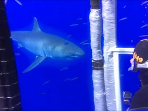 Shark-cage diver 'reborn' after close encounter with great white