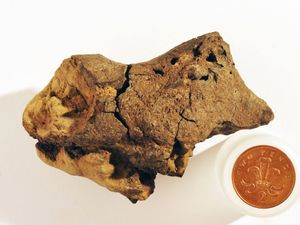 Brown pebble found on beach is first known dinosaur brain fossil