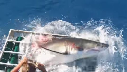 A great white shark breaks free from a cage in Mexico