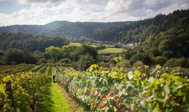 World wine output near 'lowest for 20 years' as UK harvest looks good