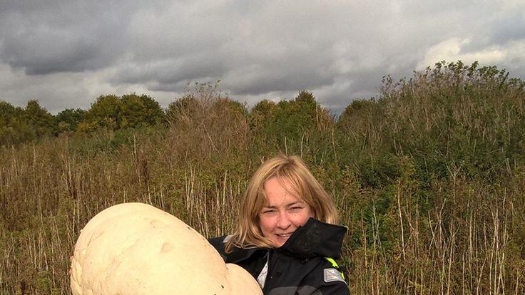 Ranger Fiona Wishart with a 10.6kg puffball mushroom she found near Polmont