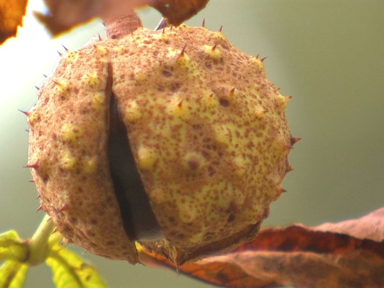A conker beginning to emerge from its shell