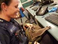 The koala is looked after by a police officer