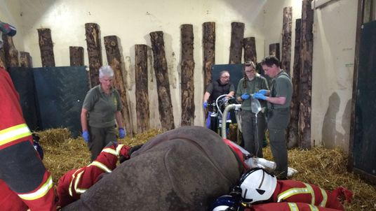 The rhino was winched into position by the fire men
