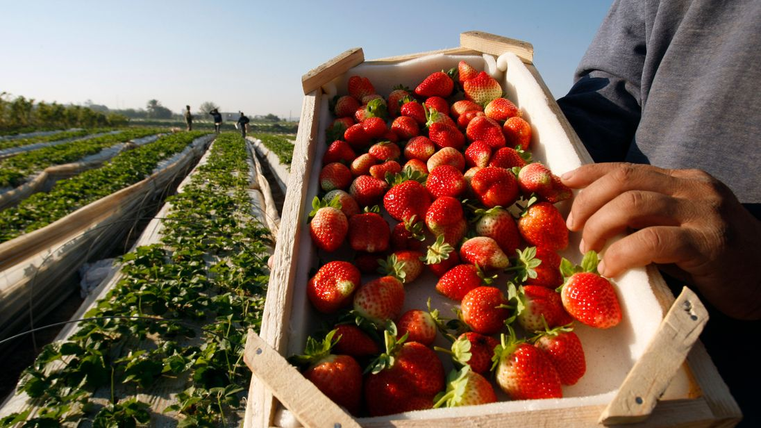 Strawberry costs may 'soar up to 50%' if Brexit restricts labour