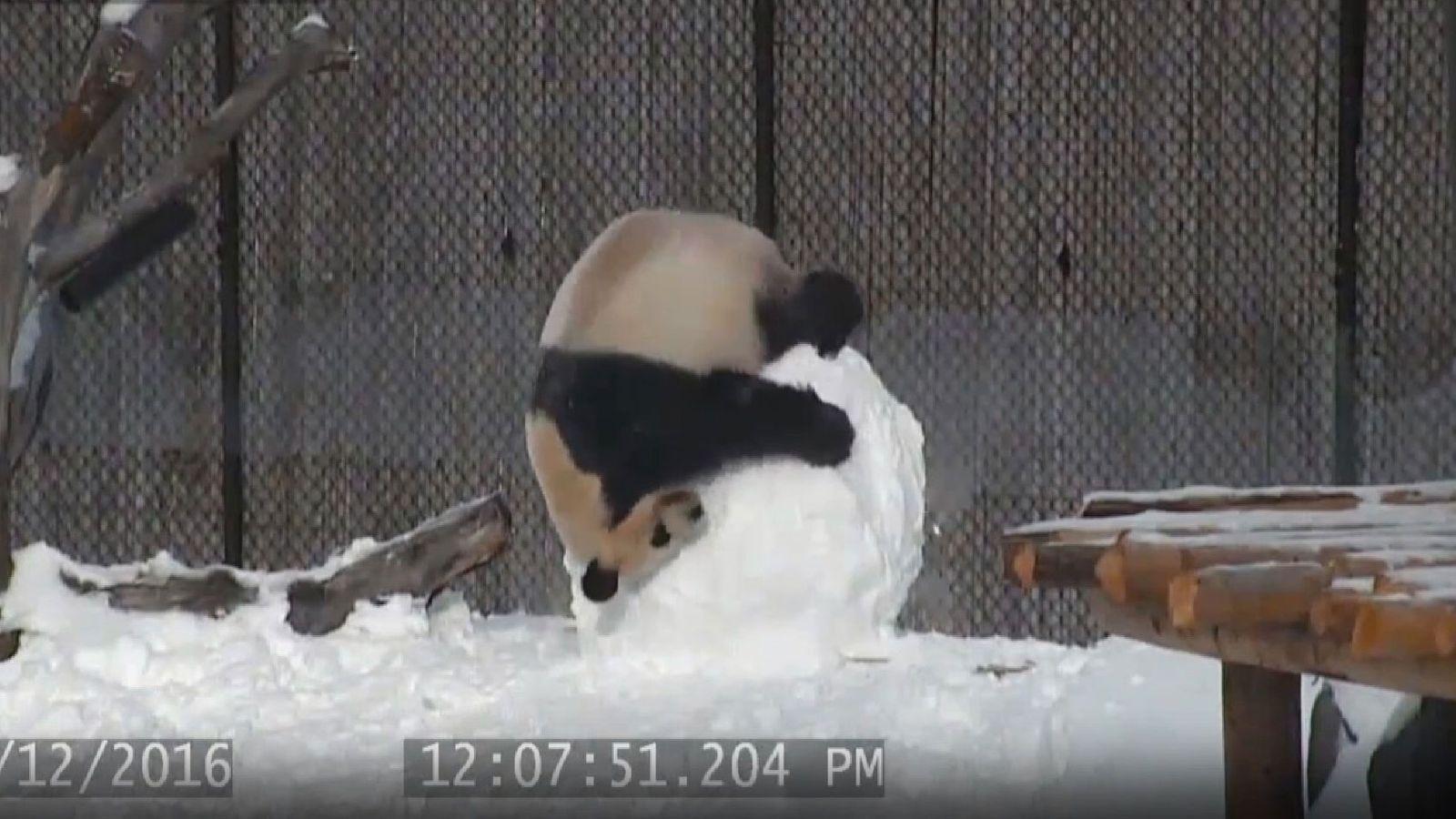 Panda wrestles with snowman. Pic: Toronto Zoo