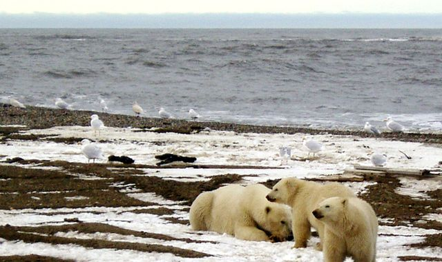 Polar bear numbers could drop by a third in 40 years, research says