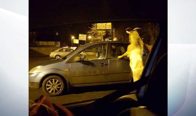 Carrickfergus: Goat on the rampage at Eurospar in Northern Ireland town