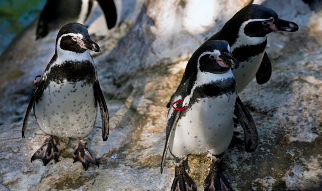 Zoo probes mysterious drownings of seven penguins