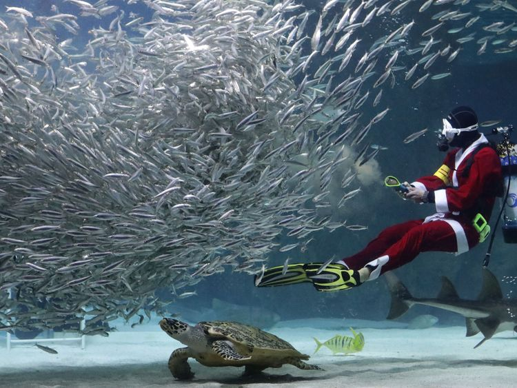 A diving Santa feeds sardines at an aquarium in Seoul, South Korea