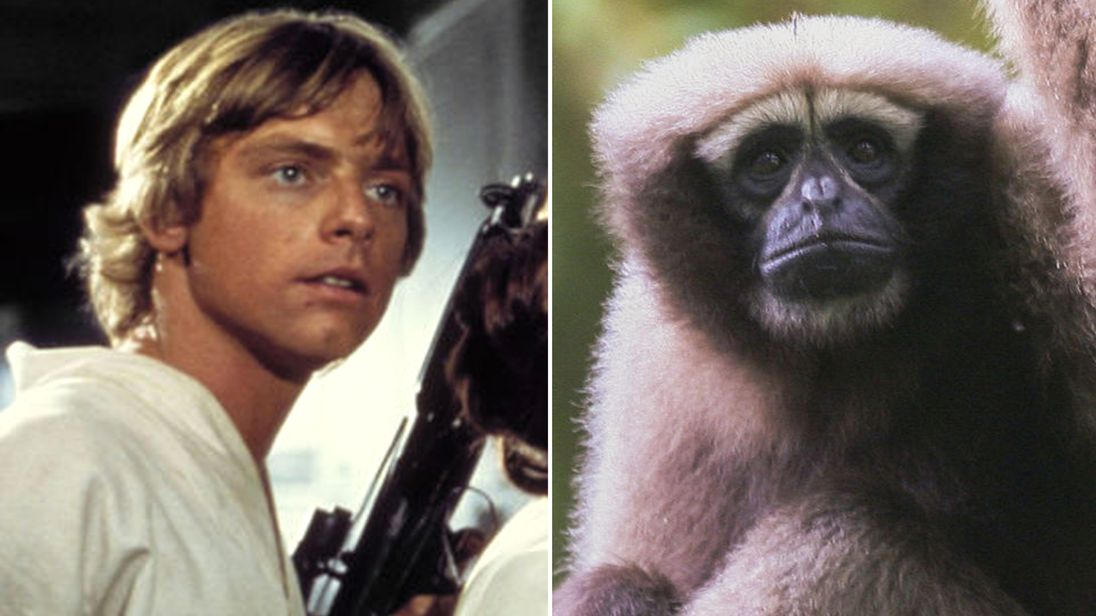Mark Hamill and a Skywalker hoolock gibbon