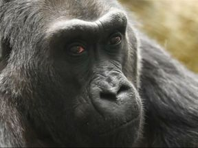 Colo, the oldest known gorilla in captivity, dies aged 60