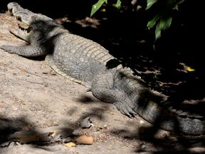 Police have warned people of the risks of crocodiles where the man tried to cross