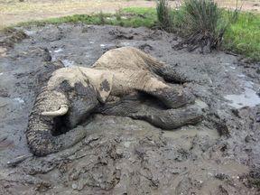 A dead elephant in Laikipia