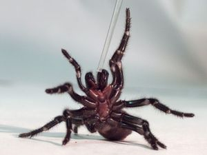 Australian zoo needs spiders to be caught so they can be milked