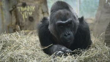 Colo the gorilla had exceeded her life expectancy by more than two decades