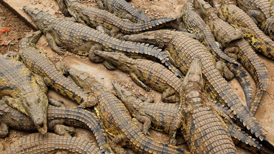 Crocodiles in pens at a farm near Mussina, South Africa