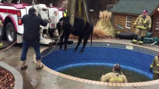 Fire crews rescue cow from swimming pool