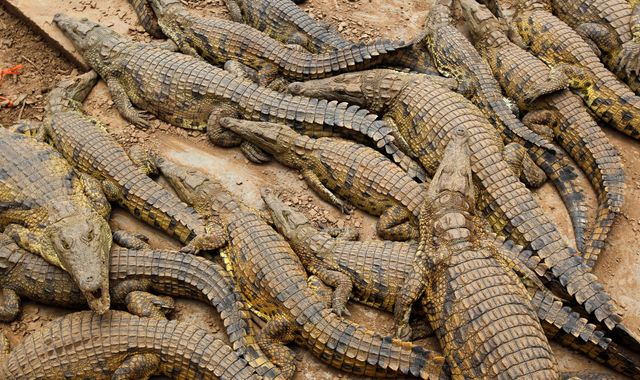 Tour guide mauled to death by crocodiles at South Africa farm
