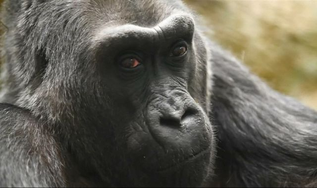 Colo, oldest gorilla in captivity, dies after 60 years in Columbus Zoo