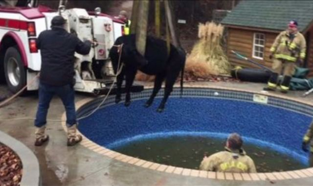 A moo-ving story: Cow rescued from swimming pool in Oklahoma