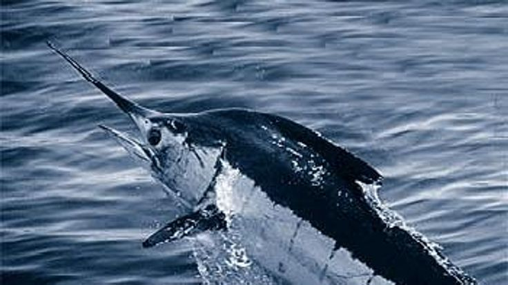 Marlin are popular game fish in tropical seas.