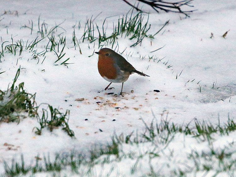 A robin in the snow in Caithness, Scotland