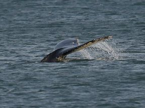 The tail of the humpback. Photo: Mark Darlaston