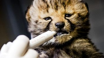 A healer feeds a cheetah cub at the Safari Beekse Bergen, in Hilvarenbeek, Netherlands