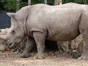 Vince, the white rhino at Thoiry Zoo. Pic: thoiry.net