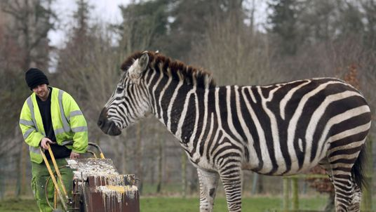 Lines are painted in the drive through animal reserve by line marker Steven Woods as staff at Blair Drummond Safari Park in Stirling